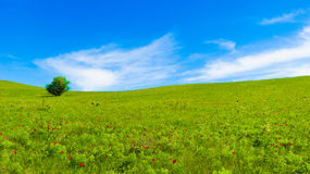 Panorama of green fields. With red flowers Stock Photography