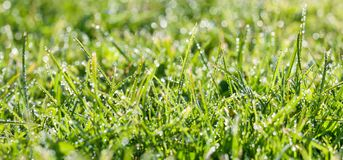 Panorama green grass with dew drops in sunlight on a spring mead Royalty Free Stock Photography