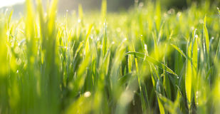 Panorama of green grass in the morning Stock Photo