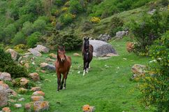 Panorama of a green meadow in the mountains with blooming yellow bushes. Close-up of three horses running through the meadow stock images