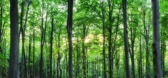 Panorama of green mountain forest with the sunlight through the. Trees background, sunset shot Stock Image