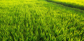 Panorama of a green rice field . Royalty Free Stock Photos