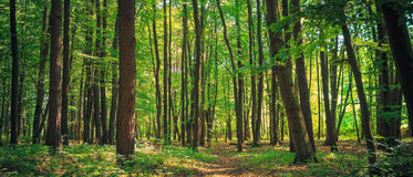 Panorama of a green summer forest Royalty Free Stock Photography