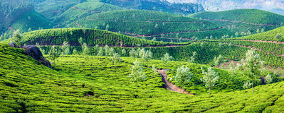 Panorama of green tea plantations on sunrise in Kerala, India Royalty Free Stock Images