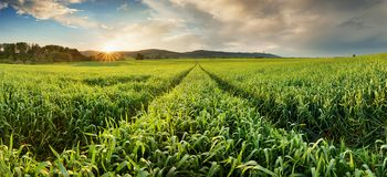 Panorama of green wheat field at sunset with sun Royalty Free Stock Image