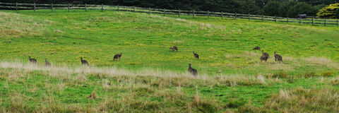 Panorama with grey kangaroo Royalty Free Stock Photos