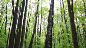 Panorama from the ground to the treetops in forest HD shooting with steadicam footage stock video