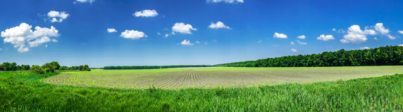 Panorama of growing spring cereals. Royalty Free Stock Photos