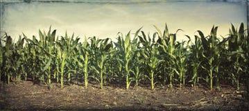 Panorama Grungy di giovani piante di cereale in un campo Fotografia Stock