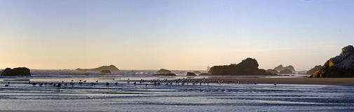 Panorama of Gulls on Beach at Sundown Royalty Free Stock Photography