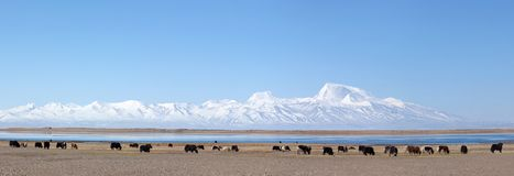 Panorama of Gurla Mandhata Mount and herd of yaks in Tibet Stock Photography