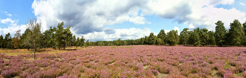 Panorama of heide meadow, cloudy sky and trees. Panorama of heathland with flowering common heather (Calluna vulgaris) and an oak in the Lueneburg Heath ( stock image