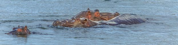 Panorama hippopotamus in river stock photos