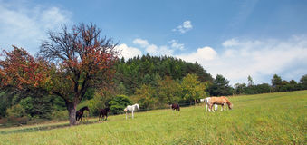 Panorama of horses grazing Royalty Free Stock Photo