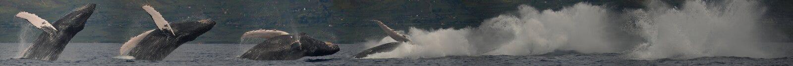Panorama Of Humpback Whale Breaching stock photos