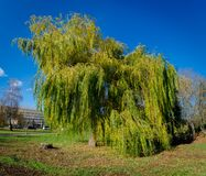Panorama of a hundred year old willow.  stock photo