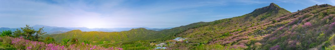 Panorama of Hwangmaesan Country Park with pink royal azalea bloom around the hillside in South Korea stock photo