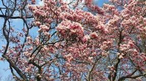 Panorama japonais rose de fleur de magnolia (soulangeana) Photos stock