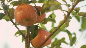 Panorama of Juicy Red Apples Hang on Tree Branch stock video