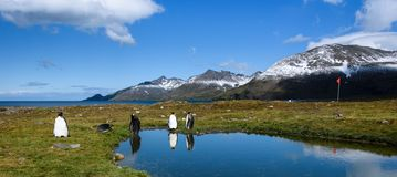 Panorama with King Penguins standing on the edge of a calm pond, with reflections, red guide flag on a pole, sunny day, beautiful stock photos