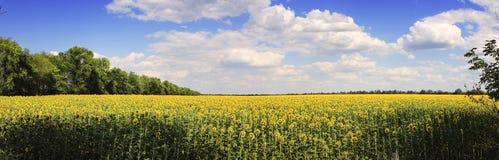panorama kwiat pszczoły pola centralnego lata późnego słońca słonecznika jasny kolor żółty Obraz Stock