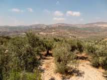 Panorama land around Sebastia in Samaria, Israel. Olive trees an Royalty Free Stock Images
