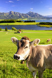 Panorama landscape in Bavaria with cow in meadow Stock Photos