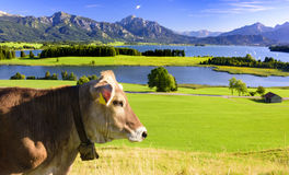 Panorama landscape in Bavaria with cow in meadow Royalty Free Stock Image