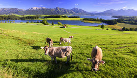 Panorama landscape in Bavaria with herd of cows Royalty Free Stock Photography