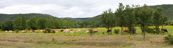 Panorama Landscape with Cows Stock Image
