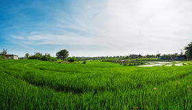 Panorama landscape, green rice field with blue sky in the morning Royalty Free Stock Images