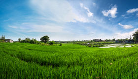 Panorama landscape, green rice field with blue sky in the morning Stock Photos