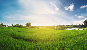 Panorama landscape, green rice field with blue sky in the sunrise morning Stock Photos