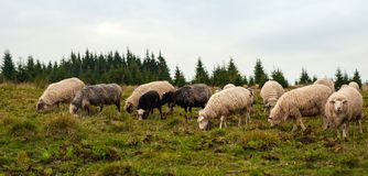 Panorama of landscape with herd of sheep graze on green pasture in the mountains. stock photos
