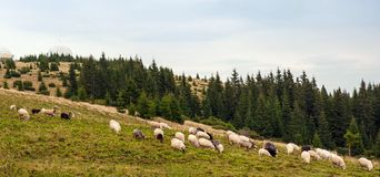 Panorama of landscape with herd of sheep graze on green pasture in the mountains. royalty free stock photography