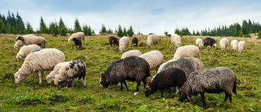 Panorama of landscape with herd of sheep graze on green pasture in the mountains. royalty free stock image