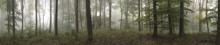 Panorama landscape image of Wendover Woods on foggy Autumn Morning. royalty free stock image