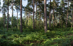 Panorama landscape lush green forest in Summer Stock Image