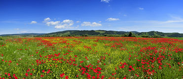 panorama landscape poppies field Royalty Free Stock Photo
