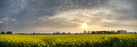Panorama landscape rapeseed canola field in diffuse hazy morning Stock Images