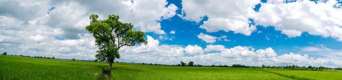 Panorama Landscape. The shade big tree standing in rice field. Panorama Landscape. The shade big tree standing in the green rice field with the fresh green Royalty Free Stock Photo