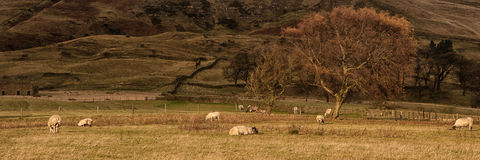 Panorama landscape sheep grazing in sunlight in Fall Stock Photos