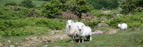 Panorama landscape of sheep in lush countryside Royalty Free Stock Photos