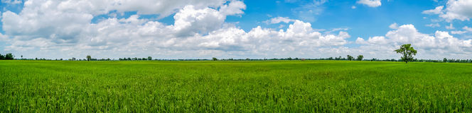 Panorama landscape of Thailand. Green nature jasmine rice field. stock photo