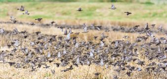 Large flock of birds flies flying over a field royalty free stock image