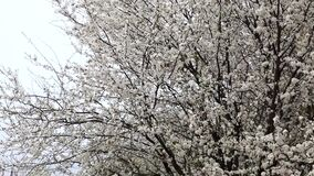Panorama of a large flowering tree in the garden. Big tree in bloom stock video footage