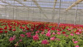 Panorama of a large modern greenhouse. Large bright greenhouse with a transparent roof and blooming flowers stock video
