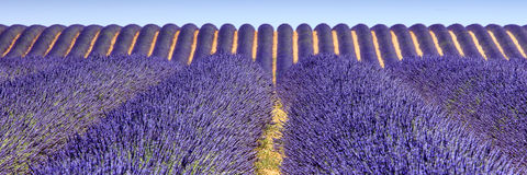 Panorama- lavendelfält Royaltyfri Bild