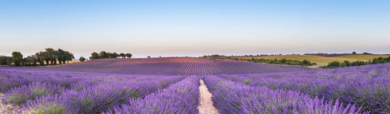 Panorama of lavender field at sunset Stock Image