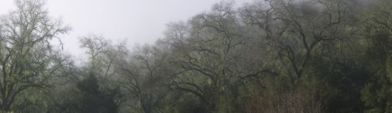 Panorama of live oak branches. Panorama of leafless live oak branches Royalty Free Stock Images